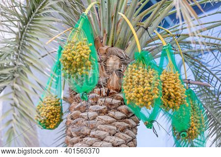 Delicious Unripe Dates On Palm Tree In Uae