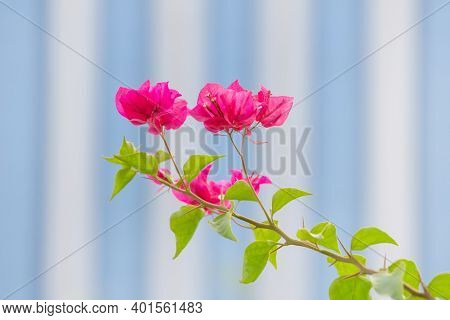 Bright Pink Bougainvillea Blossoming In The Park In Abu Dhabi, Uae