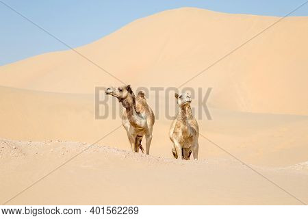 Two Middle Eastern Camels In The Desert