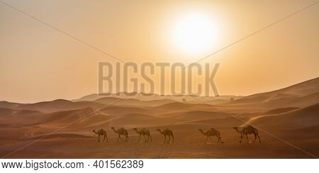 Many middle eastern camels walking through the desert