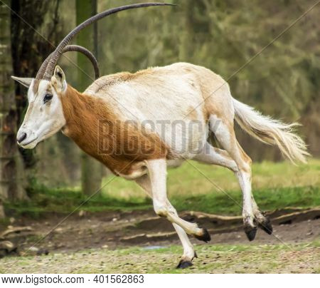 Beautiful Scimitar-horned Oryx Antelope Running. This Orange And White Animal Has One Crooked Long H