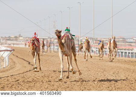 Camel Race At Al Wathba In Abu Dhabi, Uae