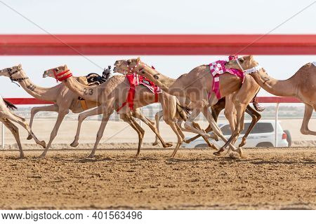 Camel Race Practice Session In Abu Dhabi, Uae, Public Event Without Tickets