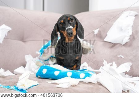 Mess Dachshund Puppy Was Left At Home Alone, Started Making A Mess. Pet Tore Up Furniture And Chews