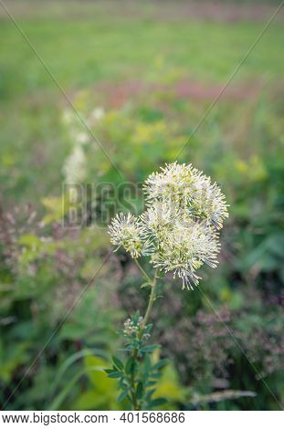 Closeup Of A Flowering Common Meadow-rue Plant Growing In A Dutch Nature Reserve. The Photo Was Take