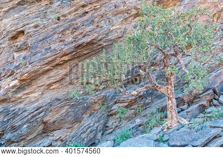 A Tree On A Rocky Slope In The Kuiseb Canyon In Namibia