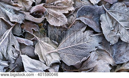 Background Of Autumn Mood From Large Textured Fallen Leaves Frozen By Morning Frost, Transition Of A