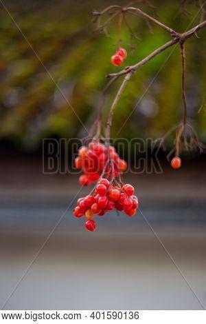 Red Viburnum Berries On A Branch. Viburnum Opulus Grows In The Winter. Viburnum Fruits Are Very Usef