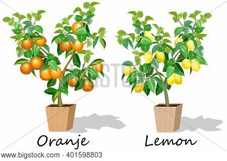 Illustration With Citrus Trees In Pots.set Of Citrus Trees With Fruits In Pots In Color Vector Illus