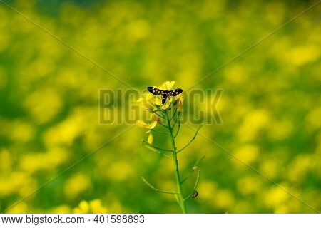 Bee Colleting Honey From Rape Or Colbaga Or White Mustard From Of Brassicaceae