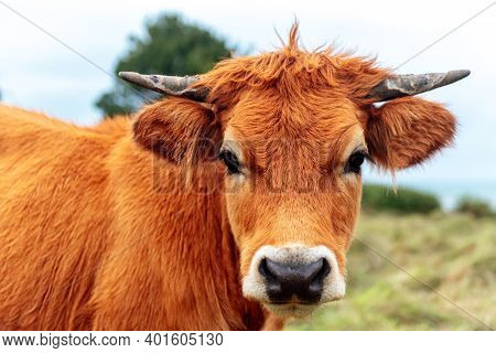 Young Brown Cow With Small Horns Looking At Camera. Shot Close Up. Extense Livestock Farming.agricul