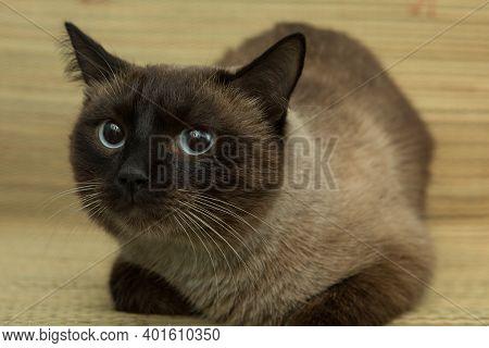 Siamese Cat Big Eyes Wide Staring Eyes.color Siamese.