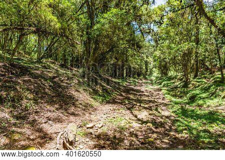 Farm Road With Araucaria Forest