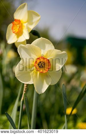 White Narcissus Flowers (narcissus Poeticus) In Garden