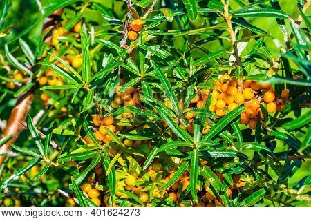 Macro Closeup Of A Sea Buckthorn Bush With Grapes, Popular Fruiting Plant Specie From Eurasia