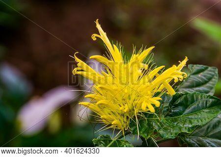 Beautiful Macro Closeup Of A Golden Plume Flower, Popular Tropical Ornamental Plant Specie From Braz