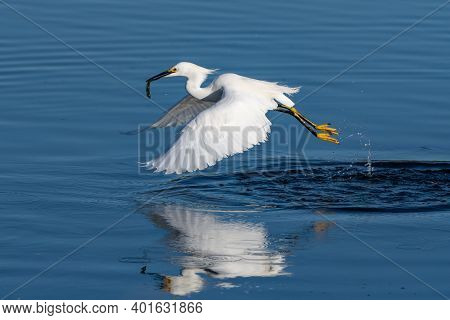 Snowy White Egret Lightly Drags Feets Across Reflective Pond Surface With Wings Spread And Happy Wit