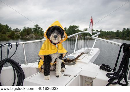 Portuguese Water Dog Wearing A Yellow Raincoat On A Boat