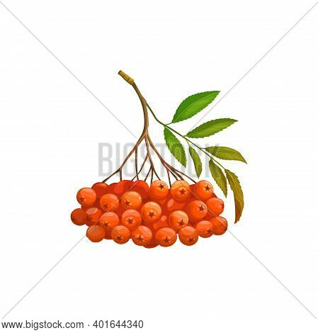 Rowanberry Fruits Or Rowan Berries Icon, Food From Farm Garden And Wild Forest, Vector Isolated. Row