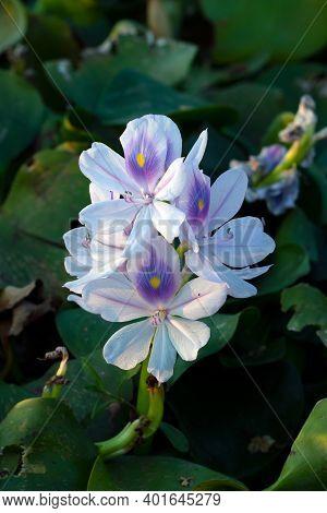 Single White Musk Flowers Or Pontederiaceae In Water Hyacinth