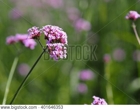 Verbena Bouquet Small Violet Flower Blooming In Garden Blurred Of Nature Background, Copy Space Conc