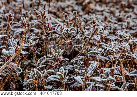 Closeup Of Leaves On Hedge Covered With Hoar Frost On Winter Morning.