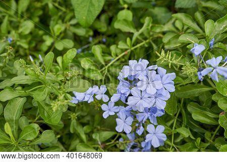 Plumbago Auriculata, The Cape Leadwort, Blue Plumbago Or Cape Plumbago Is A Species Of Flowering Pla