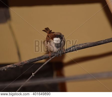European Male Sparrow Commonly Known As House Sparrow Is Looking At Something