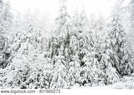 Winter Forest Snow Landscape With White Snow Cover All Pine Trees In Forest Nature Park. Background