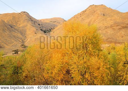 Willow Tree Leaves Changing Colors During Autumn At A Riparian Woodland Surrounded By Rural Hills Wi