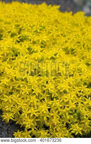 Close Up Image Of Wallpepper Flower (sedum Acre)