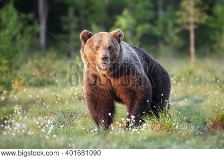 The Brown Bear (ursus Arctos), A Large Male In The Finnish Taiga. Big Bear In The Green Grass Of The
