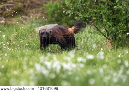 The Wolverine (gulo Gulo), Also Referred To As The Glutton, Carcajou, Skunk Bear Female Standing Und