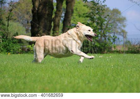 Beautiful Labrador Retriver Is Running In The Garden
