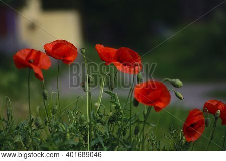 Delicate Red Poppy Flowers Close-up. Picturesque May Contrasts. Create A Mood. Poppies Bloom In The