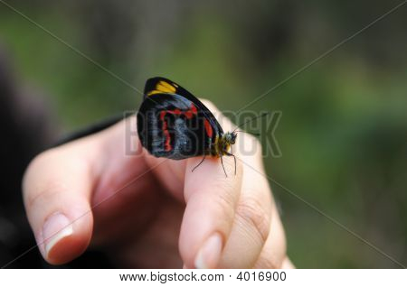 Black Butterfly Resting On A Hand