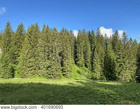 Evergreen Forest Or Coniferous Trees Over The Iberig Region And On The Slopes Of The Schwyz Alps Mou