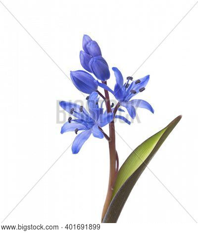 Close-up of Siberian Squill (Scilla siberica).