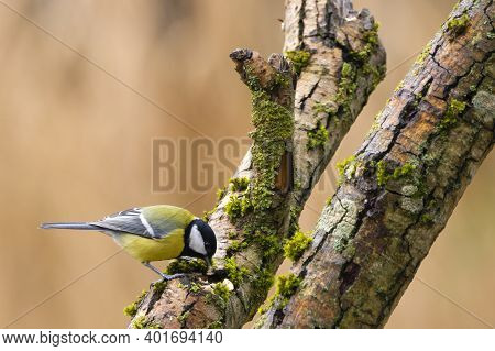 A Black Tit Or Also Called Coal Tit At A Feeding Place At The Mönchbruch Pond In A Natural Reserve I