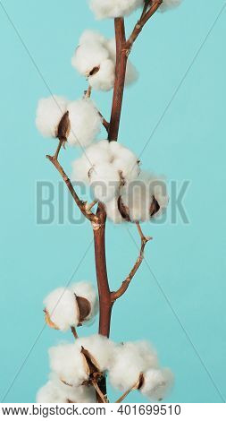 Cotton Branch. Real Delicate Soft And Gentle Natural White Cotton Balls Flower Branches