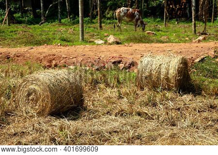 Hay Or Straw Rolls In The Paddy Field