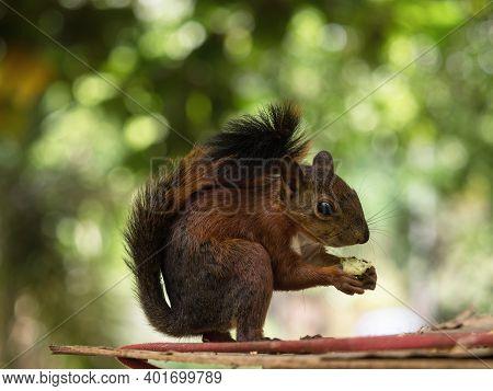 Red-tailed Squirrel Rodent Eating In Parque Centenario Park In Cartagena De Indias Bolivar Colombia