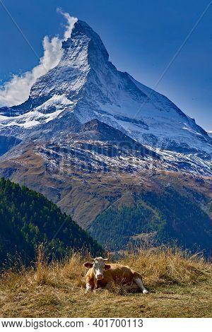 Matterhorn With A Cow Pure Swiss Feeling