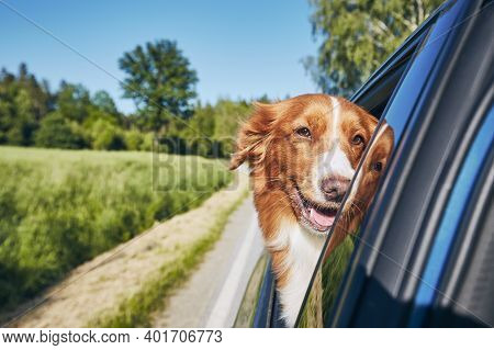 Dog Travel By Car During Sunny Summer Day. Nova Scotia Duck Tolling Retrieverlooking At Camera And E