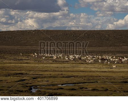 Mixed Herd Of Farm Animals Llamas And Alpacas In Andes Mountains In High Plateau Nature Landscape Ne