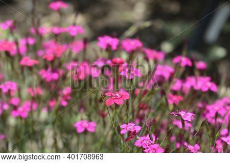 Maiden Pink Brilliant - Latin Name - Dianthus Deltoides Brilliant