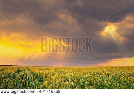 Sunset Dramatic Sky Over Rural Green Wheat Field. Spring Season. Altered Sunrise Sky. Sunray Rays Fr