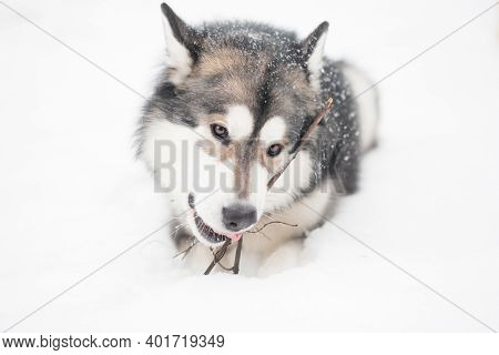 Young Alaskan Malamute Lying And Gnowing Stick In Snow. Dog Winter.