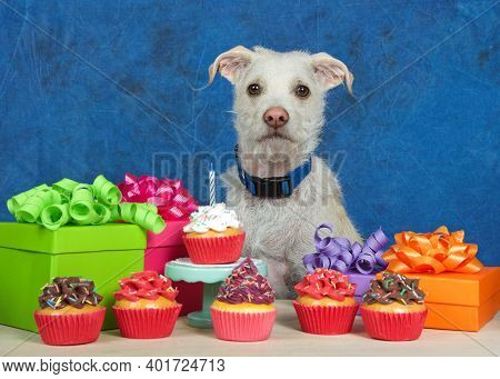 Cream Colored Terrier Puppy Dog Sitting Behind A Light Wood Table With Birthday Presents And Cup Cak