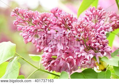 Spring Branch Of Blooming Lilac. High Resolution Photo. Selective Focus.